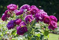 """Роза флорибунда """"Блю Иден""""\""""Blue Eden"""""""