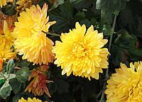 Хризантема Опал
