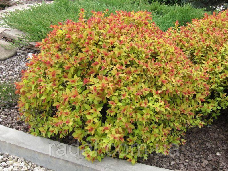 Спирея японская Фаерлайт (Spiraea japonica Firelight)