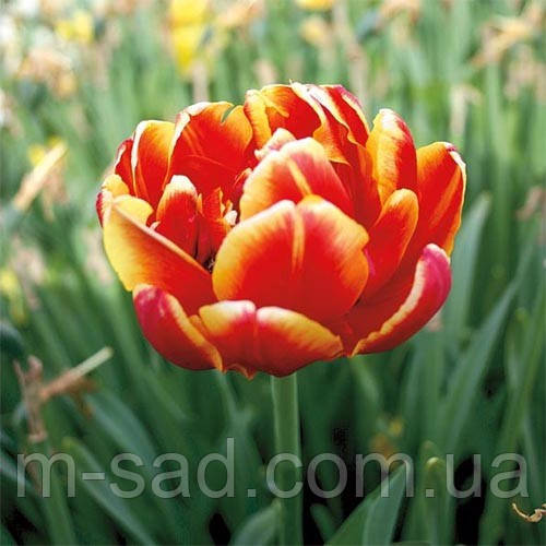Тюльпан Махровый Allegretto(поздний)