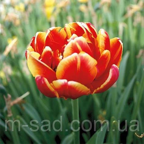 Тюльпан Махровый Allegretto(поздний), фото 2