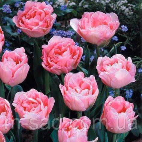 Тюльпан Махровый Angelique, фото 2