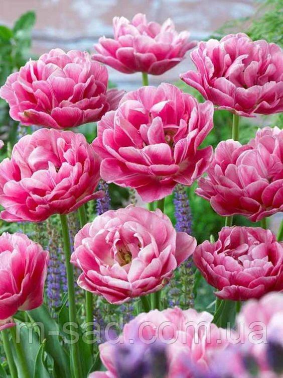 Тюльпан Махровый Aveyron