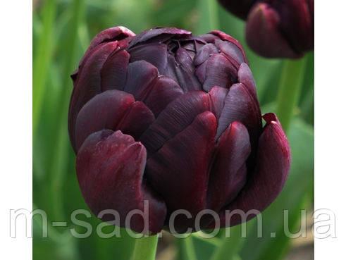 Тюльпан Махровый Black Hero, фото 2