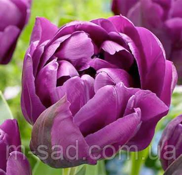 Тюльпан Махровый Blue Diamond