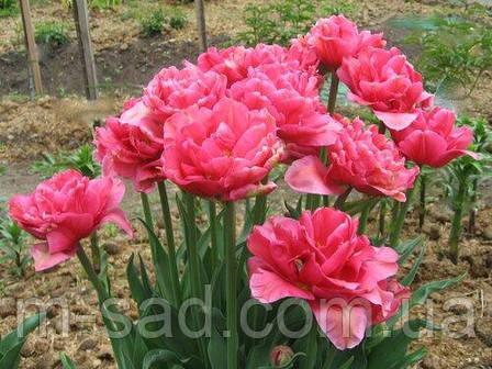 Тюльпан Махровый Chato, фото 2