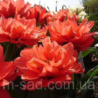 Тюльпан Махровый Electra, фото 2