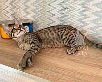 Котёнок Cаванна Ф5 из украинского питомника Royal Cats (Мальчик, 02/03/19), фото 1