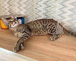Котёнок Cаванна Ф5 из украинского питомника Royal Cats (Мальчик, 02/03/19)