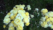 Роза Голден Бордер (Golden Border) Флорибунда', фото 2