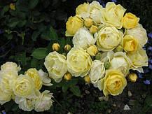 Роза Голден Бордер (Golden Border) Флорибунда', фото 3