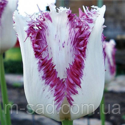 Тюльпан бахромчатый Aria Cards, фото 2