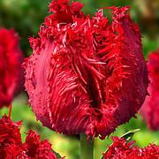 Тюльпан Бахромчатый Barbados