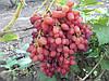 Саженцы винограда сорт 'Велес' - 1 год (ЗКС)
