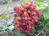 Саженцы винограда сорт 'Велес' - 1 год (ЗКС), фото 1