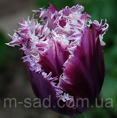 Тюльпан Бахромчатый Cummins, фото 2