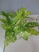 Горшечное растение Аукуба (Золотое дерево)