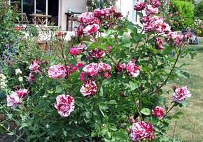 Роза Нью Имэджин (New Imagine) Флорибунда', фото 2
