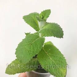 Мята Яблоко молодое растение