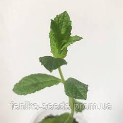 Мята «Мохито» — молодое растение