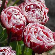 Тюльпан Махровый + Многоцветковый Drumline