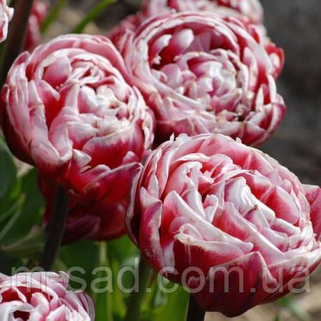 Тюльпан Махровый + Многоцветковый Drumline, фото 2