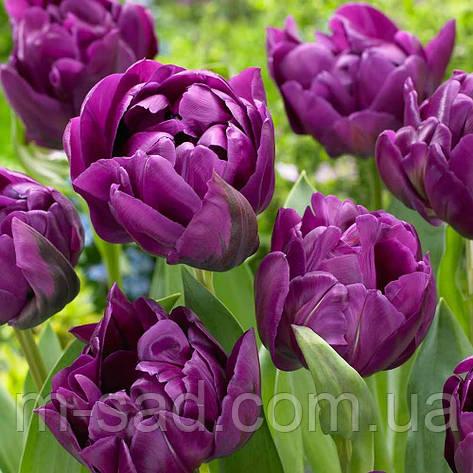 Тюльпан Махровый + Многоцветковый Lilac Perfection, фото 2