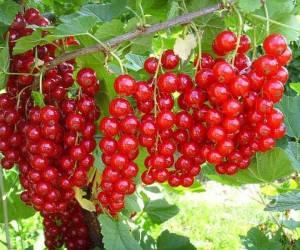 Саженцы Смородина красная Йонкер ван Тетс (лучшая цена купить оптом и в розницу)