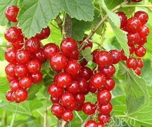 Саженцы Смородина красная Джунифер (лучшая цена купить оптом и в розницу)