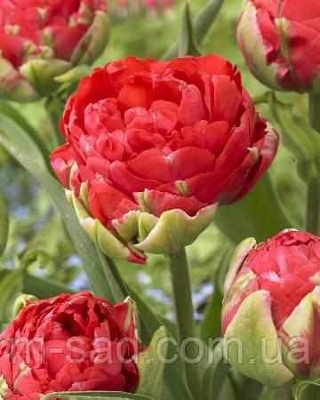 Тюльпан Махровый + Многоцветковый Robinho, фото 2