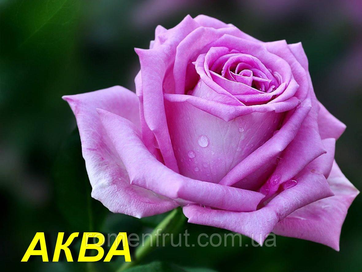 """Троянда """"Аква"""" (ч-р) (ЗКС)"""