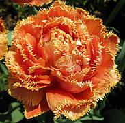 Тюльпан Махровый + Бахромчатый Gold Dust