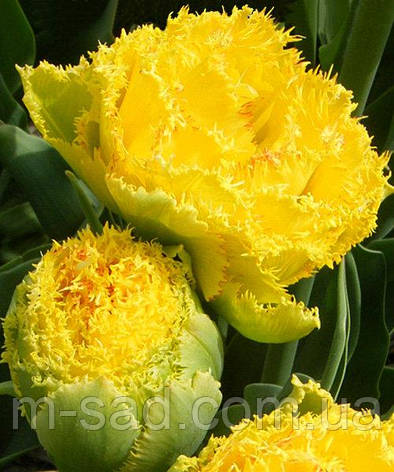 Тюльпан Махровый Бахромчатый Mon Аmour, фото 2