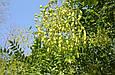 Настойка Софоры  японской 250 мл , фото 2