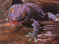 Пестрые ящерицы гекконы