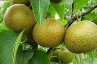 Саджанці груші Хосуі (Hosui)