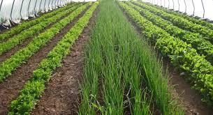Зелень и салаты выращивание в теплице круглый год