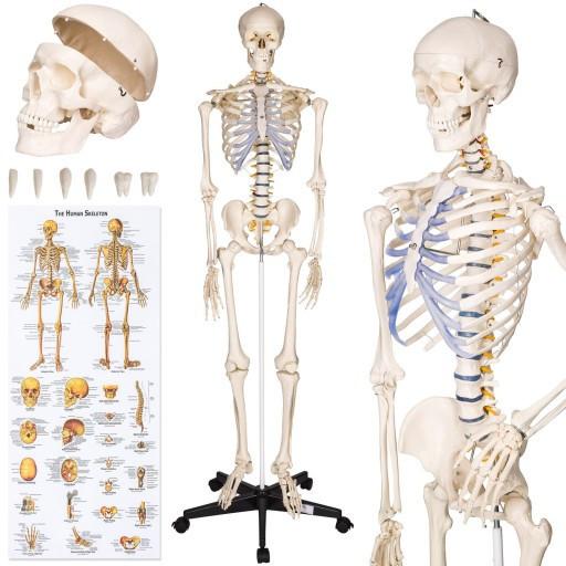 Скелет анатомич. людини 181 см