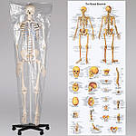 Скелет анатомич. людини 181 см, фото 2