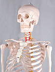 Скелет анатомич. людини 181 см, фото 3