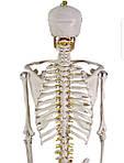 Скелет анатомич. людини 181 см, фото 6