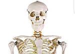 Скелет анатомич. людини 181 см, фото 7