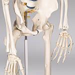 Об'ємний анатомічний скелет людини 181 см, фото 6