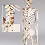 Об'ємний анатомічний скелет людини 181 см, фото 9