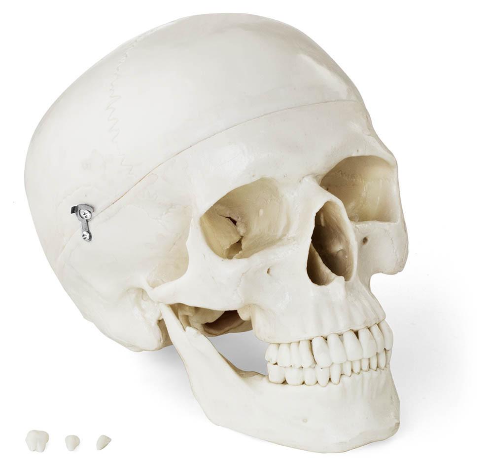 Человеческий череп - анатомическая модель