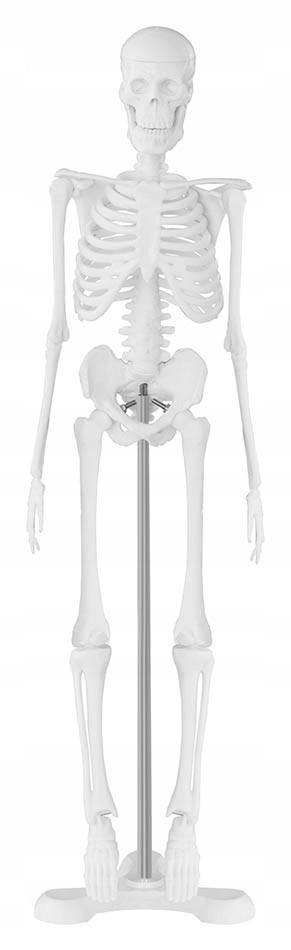 Скелет человека - анатомическая модель