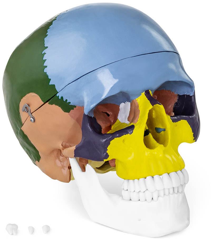 Человеческий череп - анатомическая модель цветная