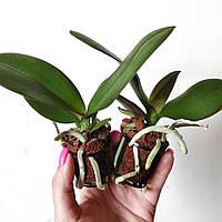 """Набор из двух подростков орхидей, цвет сюрприз. Без цветов, размер 1.7"""""""