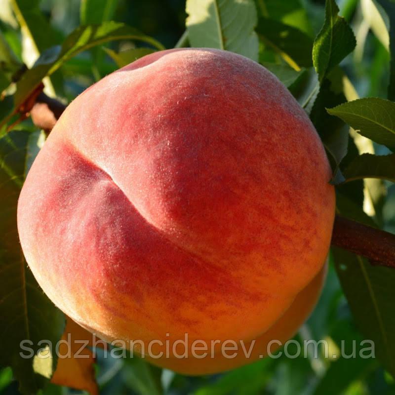 Саджанці персика Персик Вайн Голд Т3