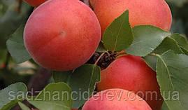 Саджанці абрикоса Фарлис (Farlis)